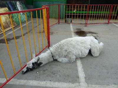 «Словами непередать». Рязанские зоозащитники раскритиковали передвижной зверинец «Ноев Ковчег»